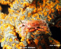 Camoflaged Crab by John Watson 